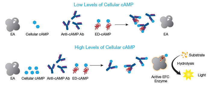 HitHunter cAMP Assay Principle