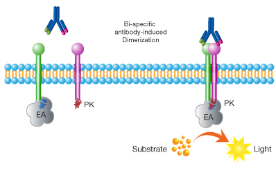 Technology Schematic for Bi-specific antibody principle