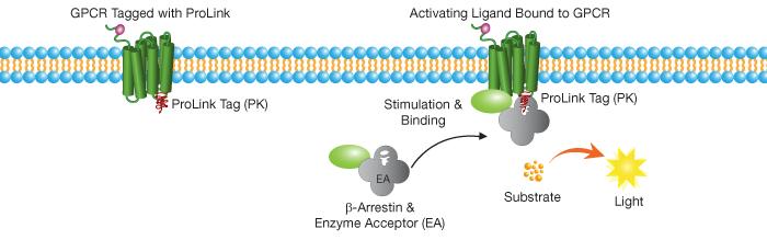 Enzyme Development Corporation